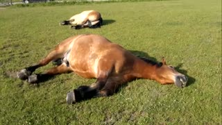 Sleeping horses caught snoring extremely loudly - Video