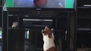 Brown/white dog barking at tv dog - Video