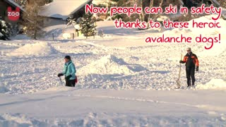 Avalanche Dogs - Video