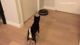 Black dog chasing moving vacuum cleaner  - Video