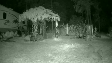 Raccoon Caught on night vision cam Outdoors fun Babies Family