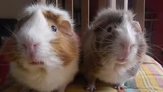 Just Filming His Guinea Pigs When They Suddenly Started Doing This…I'm Crying! - Video
