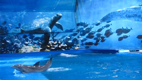 Two dolphins playing in Barcelona Aquarium