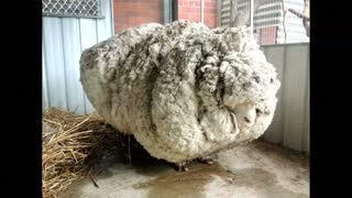 Australian sheep is unofficially the world's woolliest - Video