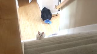 White cat walk up stairs