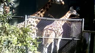 Giraffes eating at the zoo