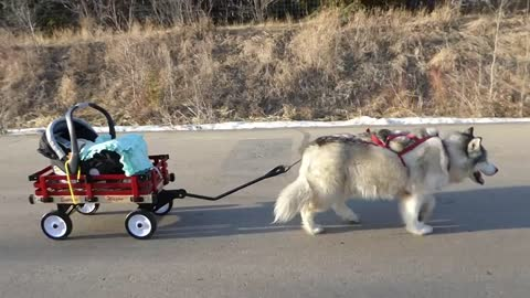 Elderly Malamute pulls baby in red wagon