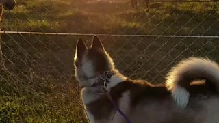 Husky fascinated by horses, wants to make friends - Video