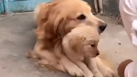 The mother dog tries to protect the puppy, even if it is only a joke from humans