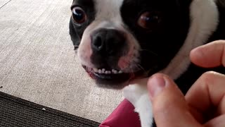 A Very Vocal Boston Terrier.