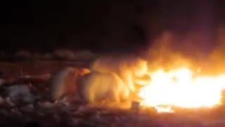 Crazy Polar Bears play with raging fire in Resolute Bay, Nunavut - Video