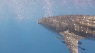 Whale Shark in Hurghada, Egypt