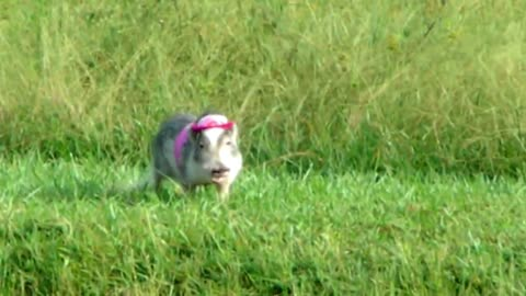 Mini Pig models new spring outfit!