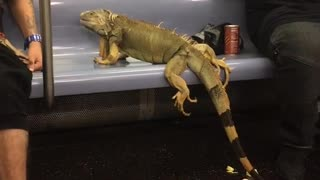 Large iguana sitting on subway train chair next to sleeping man