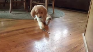 Golden Retriever puppy doesn't trust spoon - Video