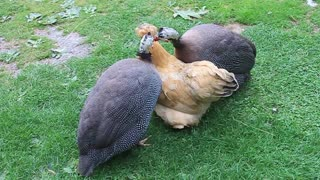 Penny the Silkie Bantam with her two foster Guinea Fowls