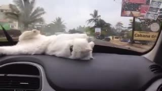 Dashboard Kitty Playtime - Video