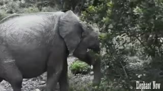 Elephant  walks Down The Street And Fnds Food Next To A Tree. - Video