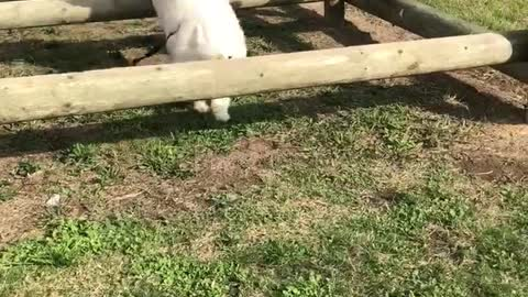 The bouncy jumping Samoyed duo
