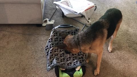 German Shepherd searches for crying baby
