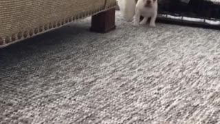 French Bulldog throws a tantrum by hopping around like a bunny