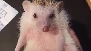 Is hedgehog safe for family members or not - Video
