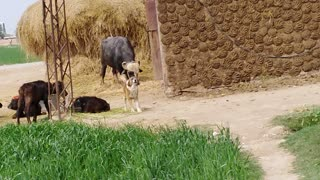 Dog the protector of Buffalo barking at people around  - Video