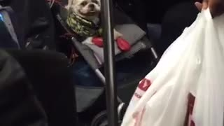 White dog wrapped in green blanket inside stroller - Video