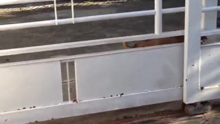 Dog Leaps Through Gate - Video