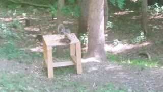 Squirrel having a meal