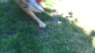 Duke the Golden gets a new toy... Hilarity ensues  - Video