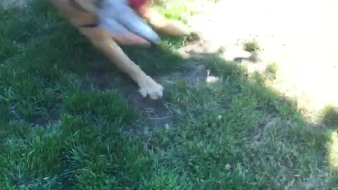 Duke the Golden gets a new toy... Hilarity ensues