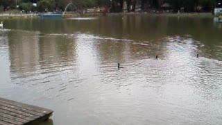 No parque municipal de barueri os pato .lago - Video