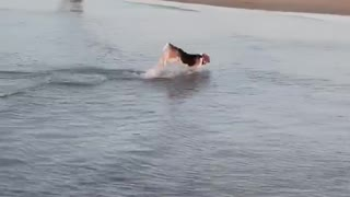 Beagle in the ocean pulls off epic dolphin impression