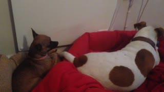 Chihuahua begs for her toy from friend - Video