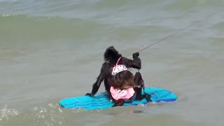 Talented Spider Monkey goes surfing