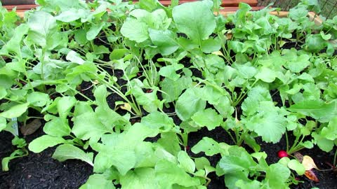 Tips for Growing Radishes: Fertilizing, Planting, Spacing, Thinning, Soil & Growth