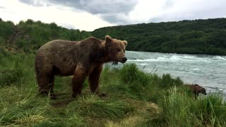 Wild Grizzly Bears Fishing - Video