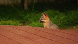 Super cute baby foxes play in the backyard - Video