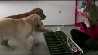 Check Out These Amazing And Talented Dogs Playing The Piano - Video