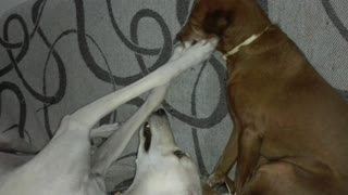 Bored dog tried to get sister to play - Video
