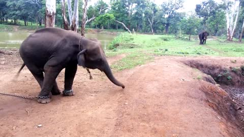 Baby Elephant calling his Dad by Dance