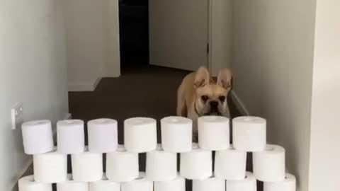 French Bulldog participates in the toilet paper challenge