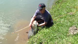 Bighead Carp Caught with Bow and Arrow - Video
