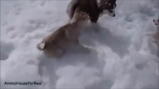Siberian Husky Puppies Playing in Snow - Video