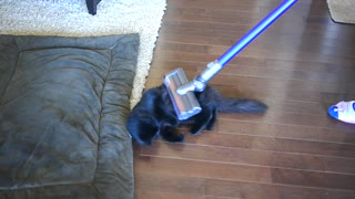 Dog and cat take turns enjoying vacuum cleaner