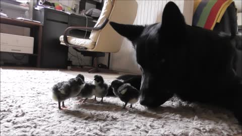German Shepherds watch over newly hatched chickens