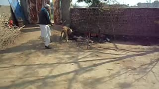 A beautiful Bohli Kutta (Dog) barking on other dog  - Video