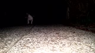 chihuahua dog puppies walking night out cute - Video