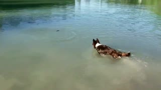 Dog is terrible at Swimming  - Video